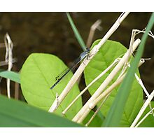 Damselfly 3 Photographic Print