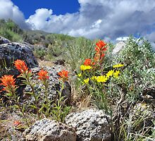Indian Paintbrush by SB  Sullivan