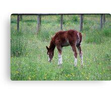 Summer Foal Canvas Print