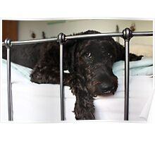 Happy Labradoodle Puppy Dog Poster