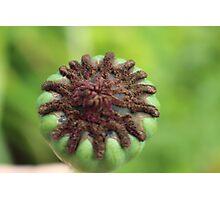 Micro bud poppy seed Photographic Print