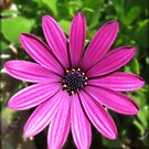 Thirteen Pink Petals - Pretty Cape Daisy by MidnightMelody