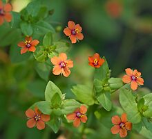 Scarlet Pimpernell Wildflower - Anagallis arvensis by MotherNature
