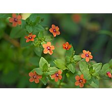 Scarlet Pimpernell Wildflower - Anagallis arvensis Photographic Print