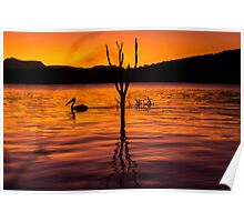 Pelicans swimming at sunset Poster