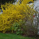 Forsythia by BearheartFoto