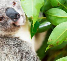 Koala by itself in a tree. Sticker