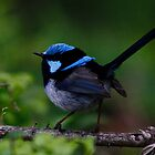 Blue Wren by Lochlan Rovina