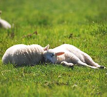 Spring Lambs by Laura Hetherington