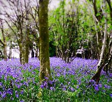 Spring Bluebell by CHINOIMAGES
