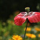 Rain-Soaked Poppy by Tracy Friesen