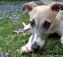 Whippet Puppy Among Jacaranda Flowers by Marina Raspolich