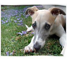 Whippet Puppy Among Jacaranda Flowers Poster