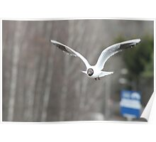 Seagull flying Poster