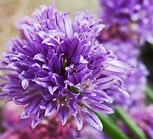 Chive flower by sarnia2