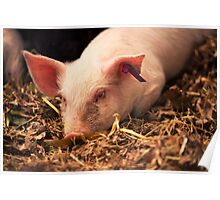 Young Pig Poster