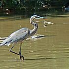 Great Blue Heron - Ardea herodias by MotherNature