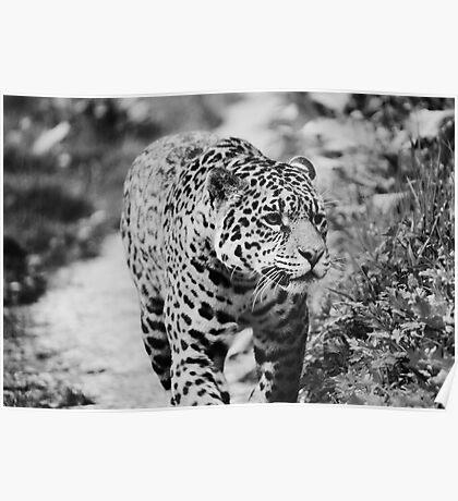 Jaguar in the Rain  Poster