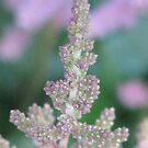 Astible's Airy Plume by AngieDavies