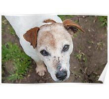 The old Jack Russel  Poster