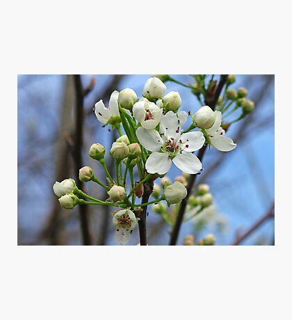 Cherry Blossom Skies Photographic Print