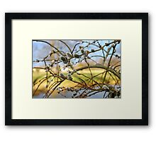 Weeping Pussy Willow Catkins Framed Print