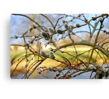 Weeping Pussy Willow Catkins Canvas Print