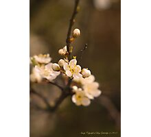 First Blossoms Photographic Print