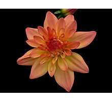 Dandy Dahlia! Photographic Print