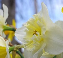Daffodil Delight 2 by Shari Rucker
