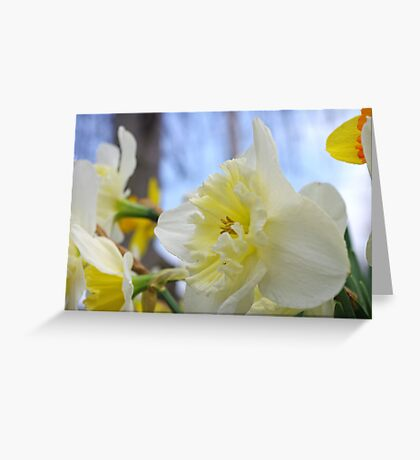Daffodil Delight 2 Greeting Card