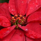 Red Poinsettia by TheaShutterbug