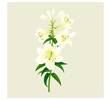 White Lily Photographic Print