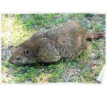 Gregarious Groundhog Poster