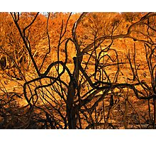 burnt bush looks like burning bush Photographic Print