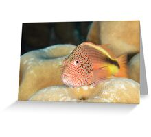 Black-backed Hawkfish - Paracirrhites forsteri Greeting Card