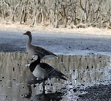 Geese by UpNorthPhoto