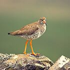 Common Redshank by VoluntaryRanger