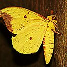 Yellow Moth by Ginger  Barritt