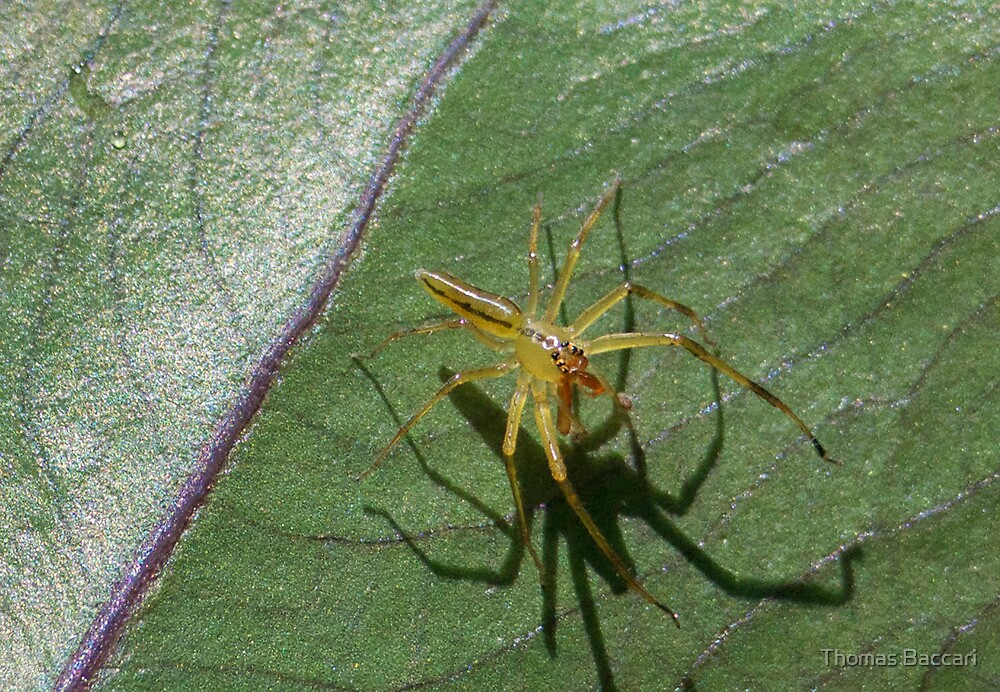 LYNX SPIDER AND HIS SHADOW by imagetj