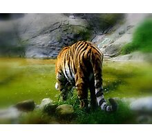 Tiger, Dublin Zoo Photographic Print
