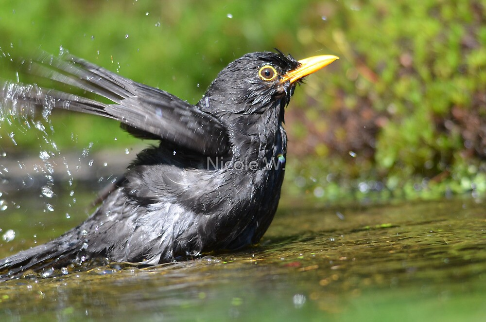 Male Blackbird takes a bath by Nicole W.