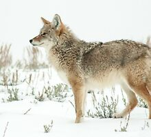 Snow 'yote by Anthony Brewer