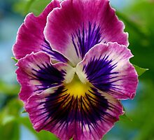 Perfect Pansy. by Lee d'Entremont