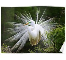 Great White Egret in Breeding Plumage Poster