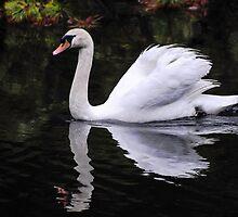 Mute Swan by Rimrunner