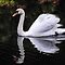 *_Swan with a clear reflection...._*