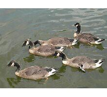 Goslings Update Photographic Print