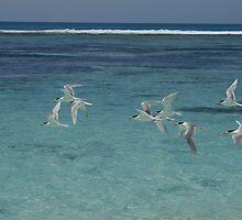 Crested Terns by Joel Mason