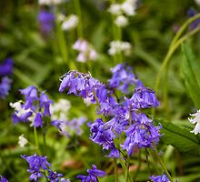 Bluebells by mlphoto